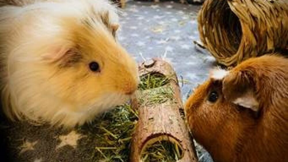 Tom's new workmates, rescue guinea pigs, Bert and Ernie